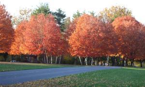Maples 2